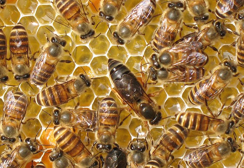金黄山中蜂种蜂王
