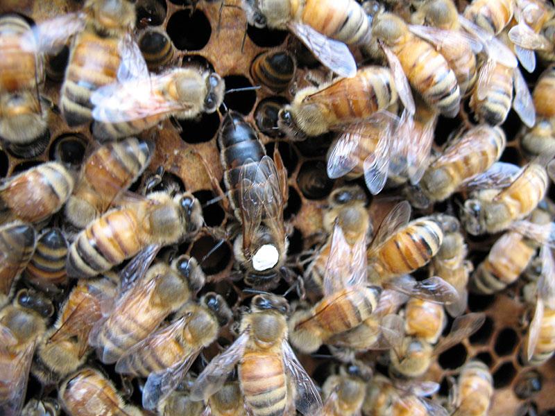 蜂蜜高产特2号种蜂王