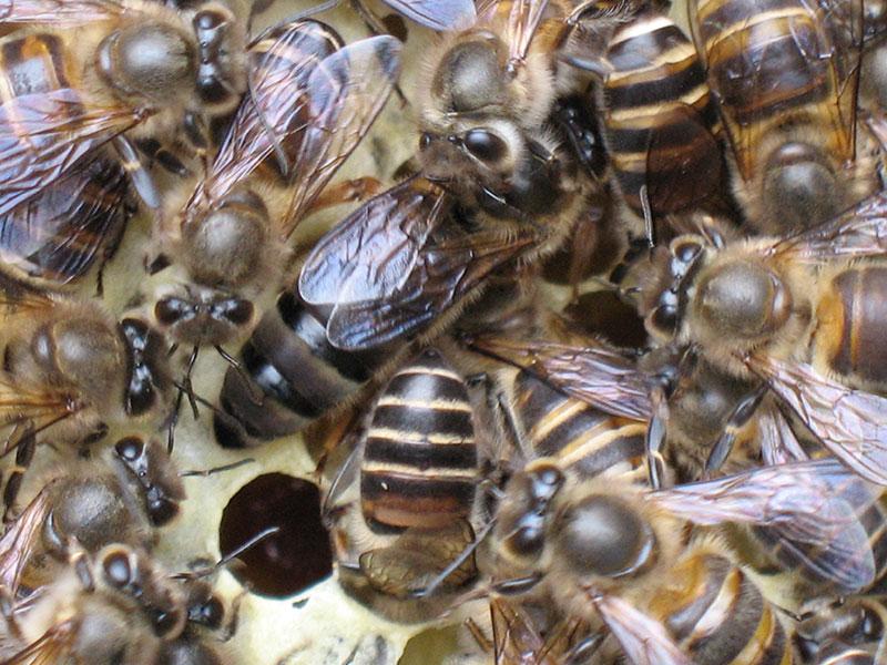 黄山黑蜂种蜂王