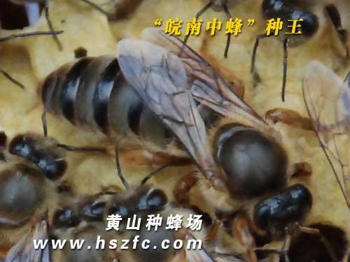 皖南中蜂种蜂王