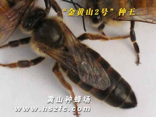 金黄山2号种蜂王