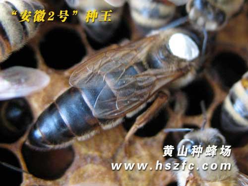 安徽2号种蜂王