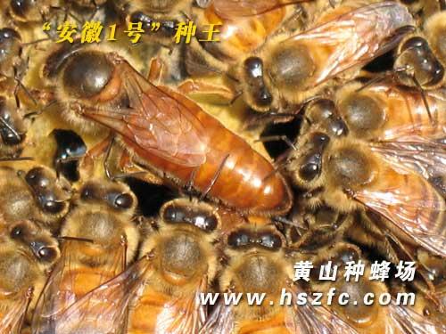 安徽1号种蜂王